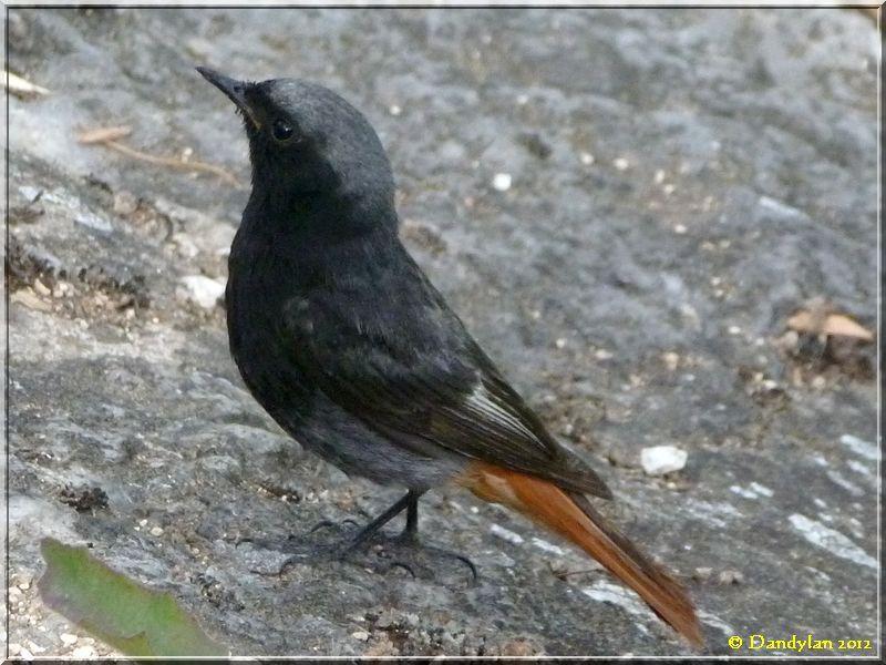 nom d 39 oiseau noir avec une queue rouge carnets de voyage